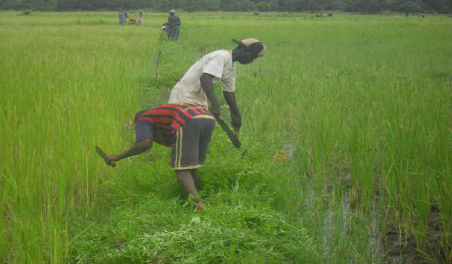 Support Family Agriculture in the eastern region of Guinea- Bissau, ADIC Nafaia